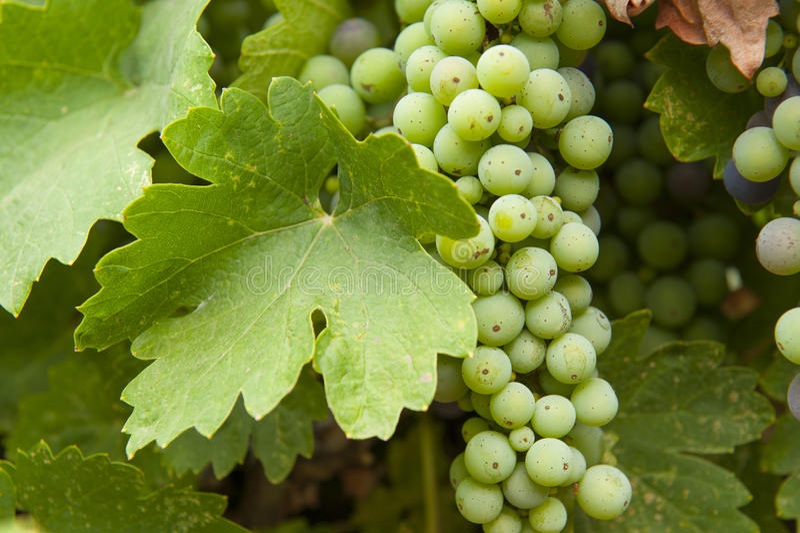 Nog niet gerijpte druiven stock afbeelding