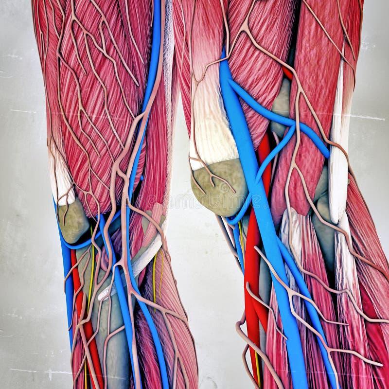 Noga mięśnie ilustracja wektor