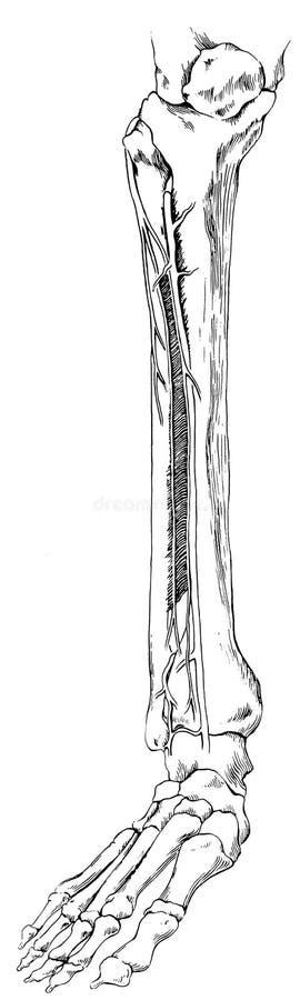 Noga - Obniża z stopą i kościami royalty ilustracja