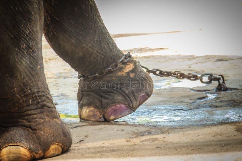 Noga przykuwający słoń i spojrzenie bardzo żałośni zdjęcia stock
