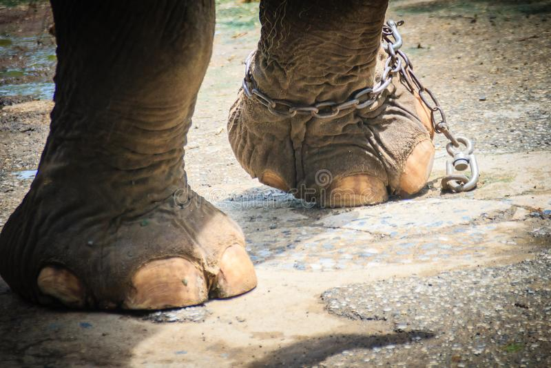 Noga przykuwający słoń i spojrzenie bardzo żałośni obrazy stock