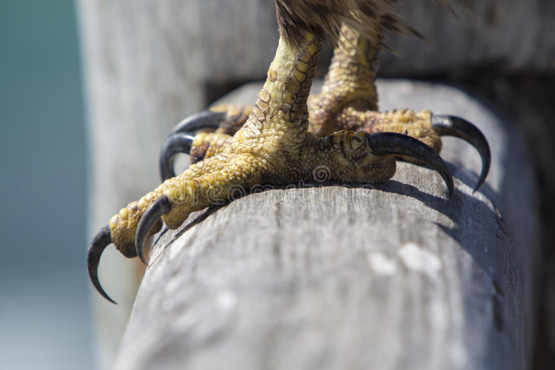 Nogi i pazury orzeł, Galapagos zdjęcia royalty free