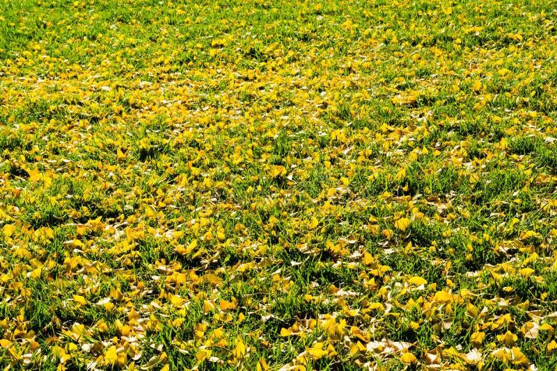 A nogueira-do-Japão caída sae no outono em um gramado da grama verde, Califórnia imagens de stock