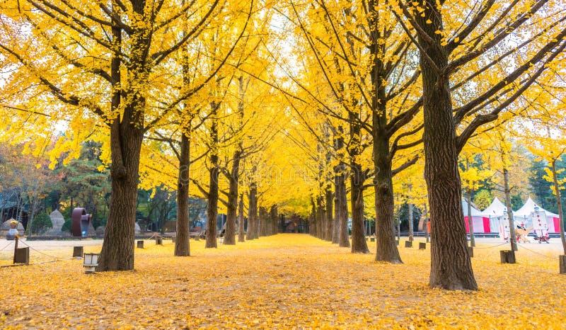 A nogueira-do-Japão sae da incandescência amarela em Nami Island, Coreia do Sul fotografia de stock