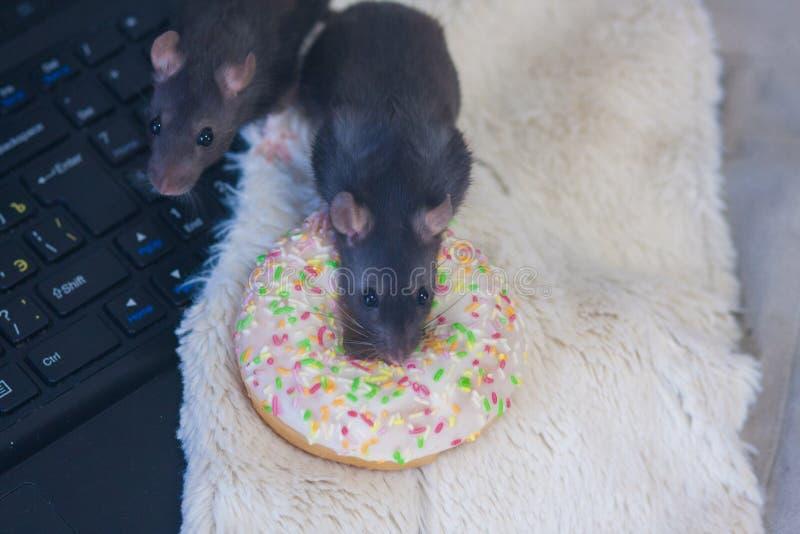 Noir de rat et un beignet symbole du calendrier 2020 chinois photographie stock libre de droits