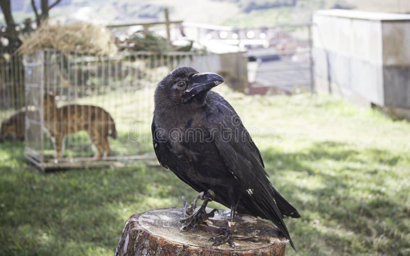 Noir de Raven photos libres de droits