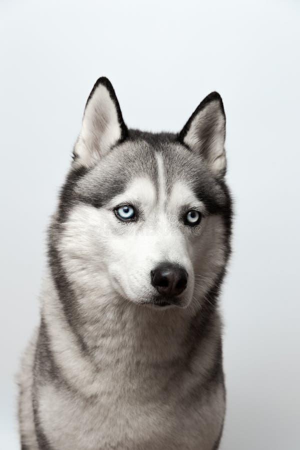 Noir et blanc adorable avec des yeux bleus enroués Projectile de studio sur le fond gris Concentré sur des yeux photographie stock libre de droits