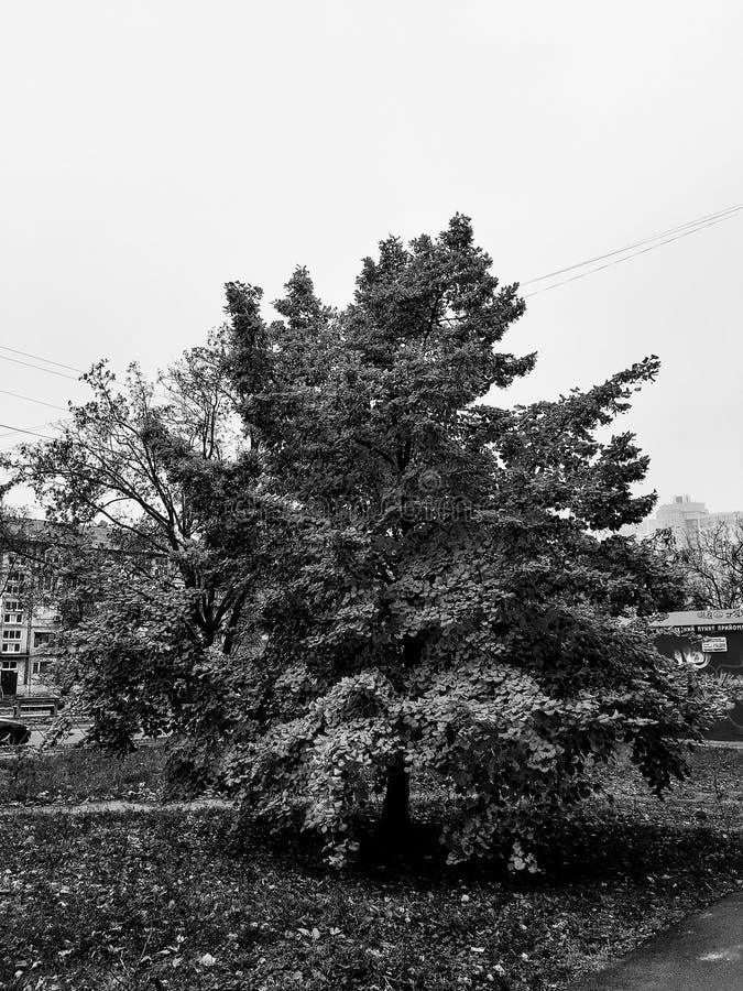 Noir et blanc, automne, arbre, feuilles jaunies image libre de droits
