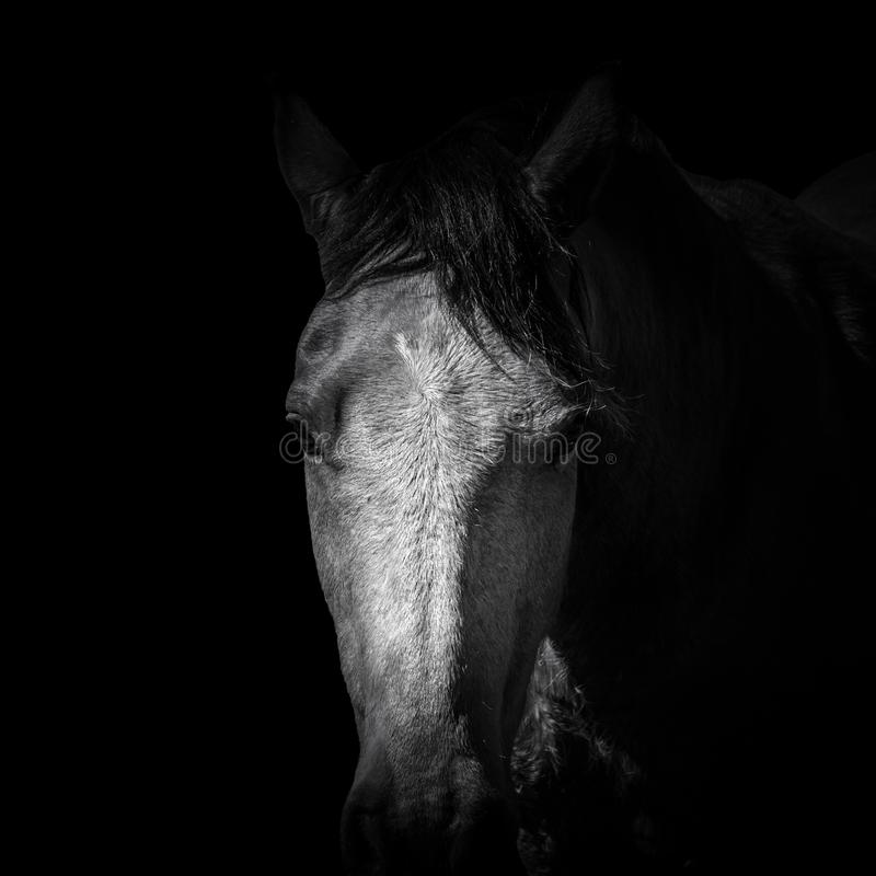 Noir et blanc de la tête de cheval brune d'isolement images stock