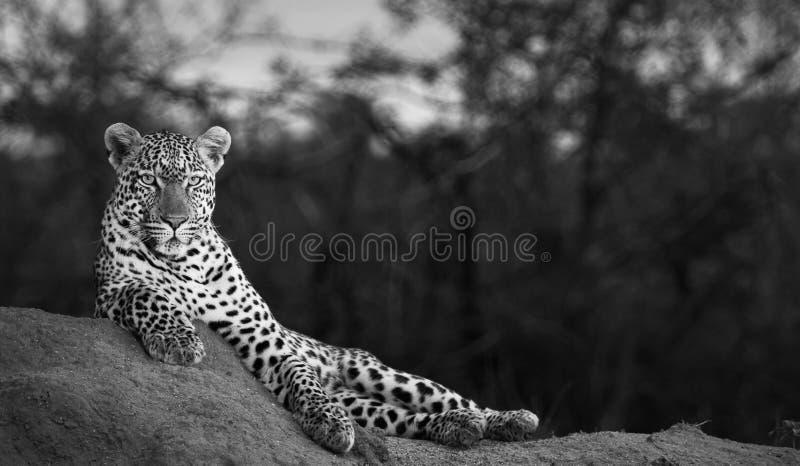 Noir et blanc du léopard masculin d'A appréciant une position avantageuse au crépuscule image libre de droits