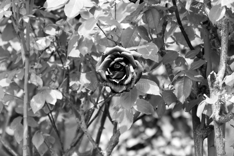 Noir et blanc ouvrez la fleur rose avec les pétales foncés - le jardin de floraison fleurissent photographie stock libre de droits