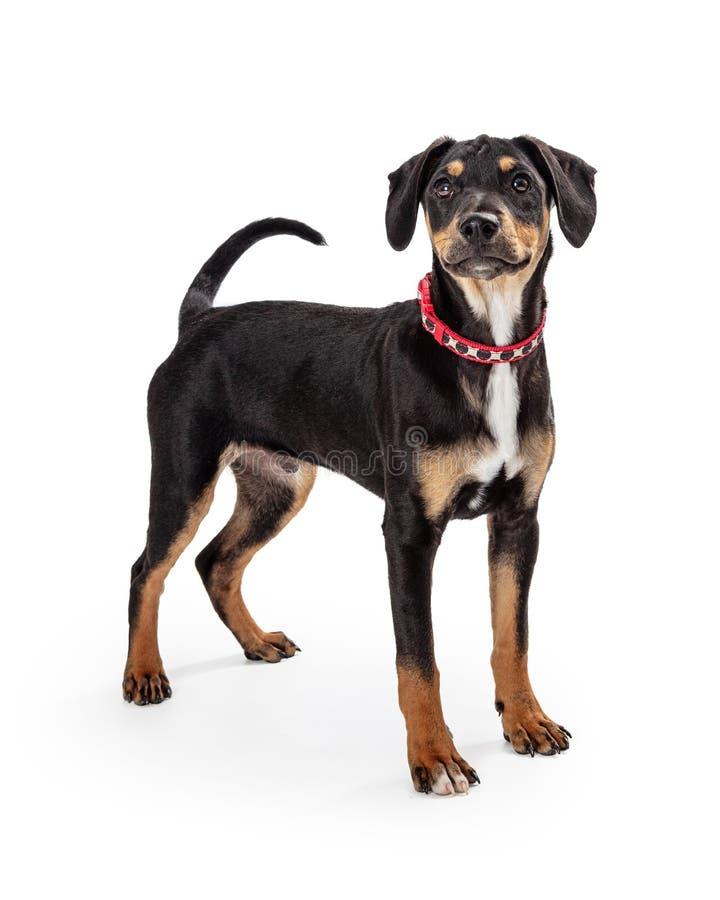 Noir et Tan Cute Puppy Dog de jeunes image stock