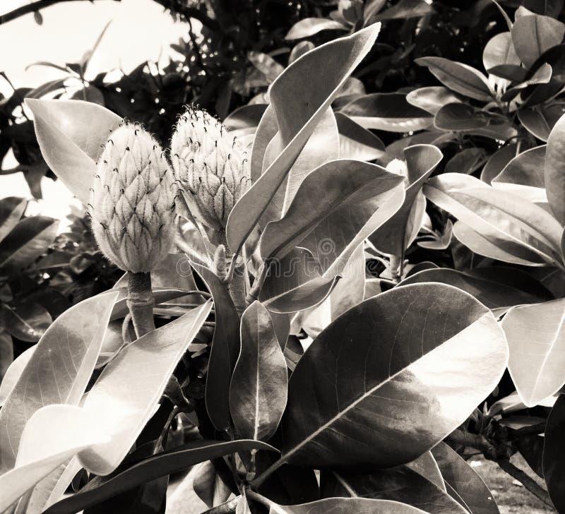 Noir magnolia royaltyfri fotografi