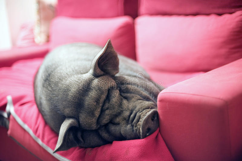 Noir porcin sur le sofa photos libres de droits