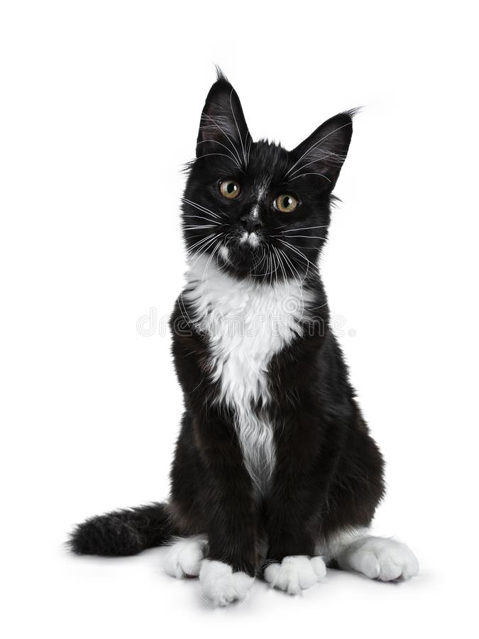 Noircissez avec le chaton blanc de chat de Maine Coon se reposant vers le haut de regarder l'appareil-photo sur le fond blanc image stock