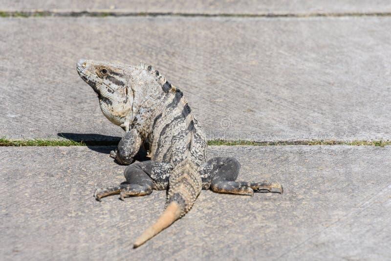Noircissez l'iguane épineux-coupé la queue, l'iguane noir, ou le ctenosaur noir Similis de Ctenosaura Maya de la Riviera, Cancun, photos libres de droits