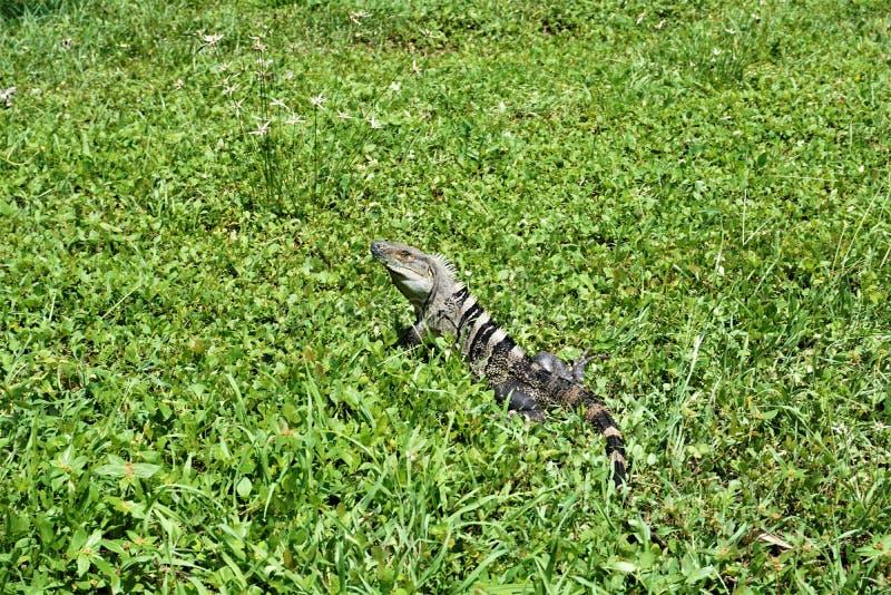 Noircissez l'iguane épineux-coupé la queue sur un pré en parc national de Carara photo stock