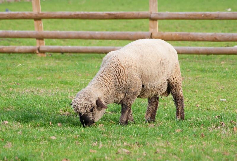 Noircissez les moutons faits face dans un domaine d'herbe verte photographie stock