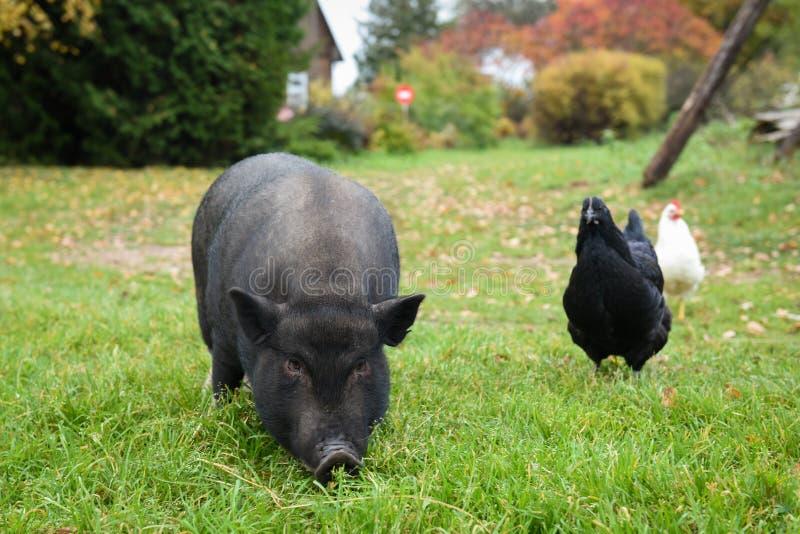 Noircissez un porc dans la cour image libre de droits
