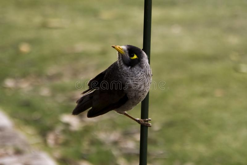 Noise miner manorina melanocephala playing in a stick in the S stock photography