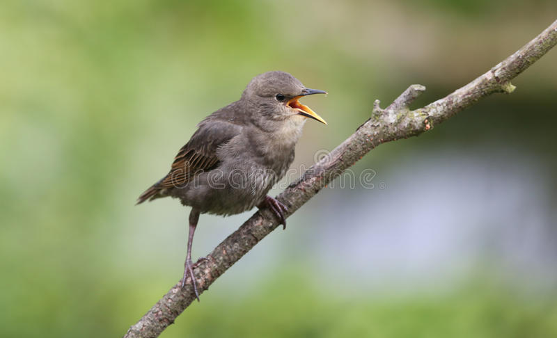 A noisy baby Starling Sturnus vulgaris calling to its parents for food. A noisy baby Starling Sturnus vulgaris calling to its parents for food, perched on a stock images