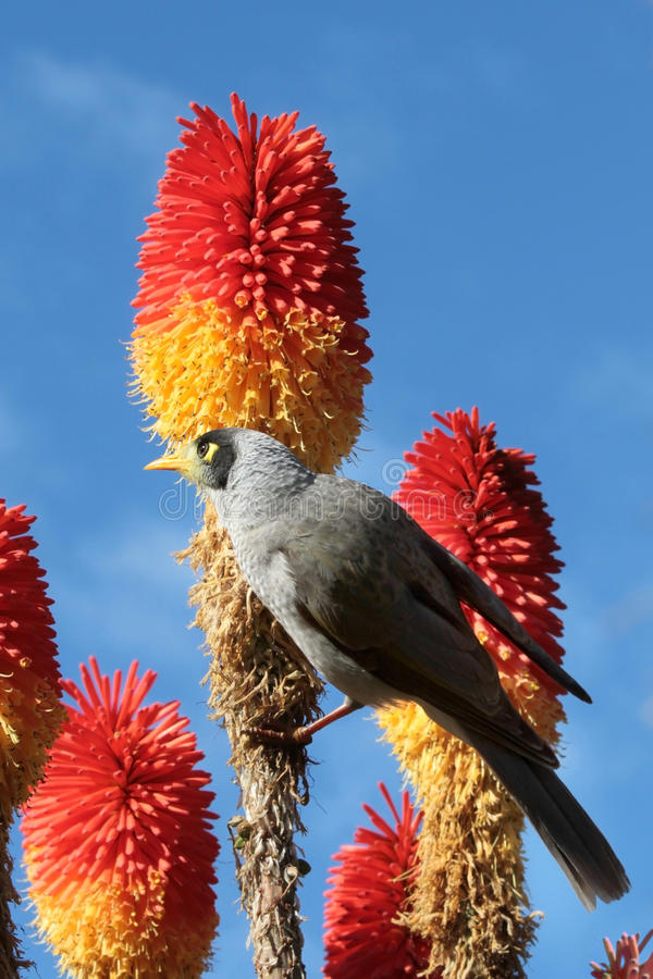 Free Noisy Miner Royalty Free Stock Image - 25777316