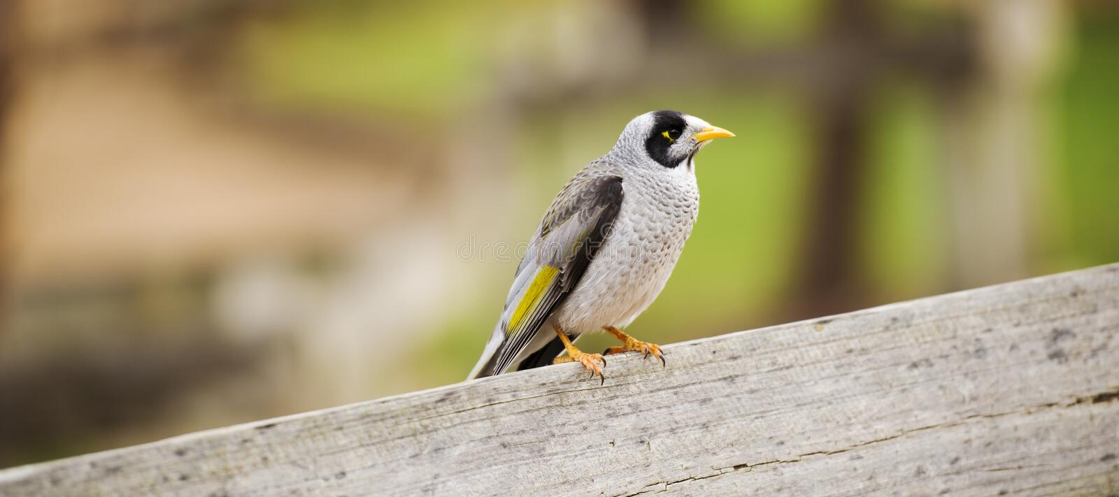 Noisy miner bird by itself. The noisy miner bird by itself during the day stock photo