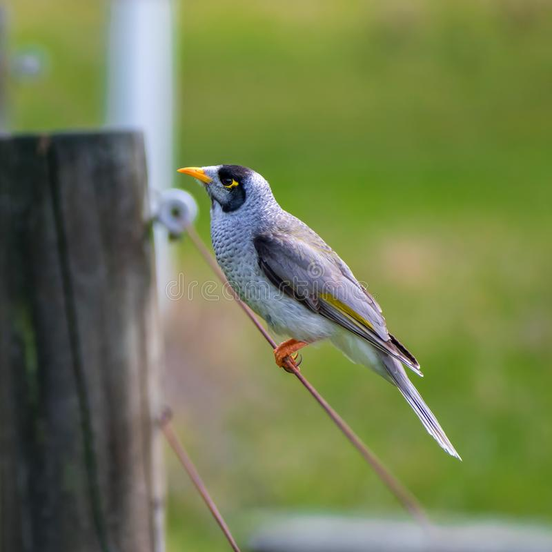 Noisy miner on the fence stock images