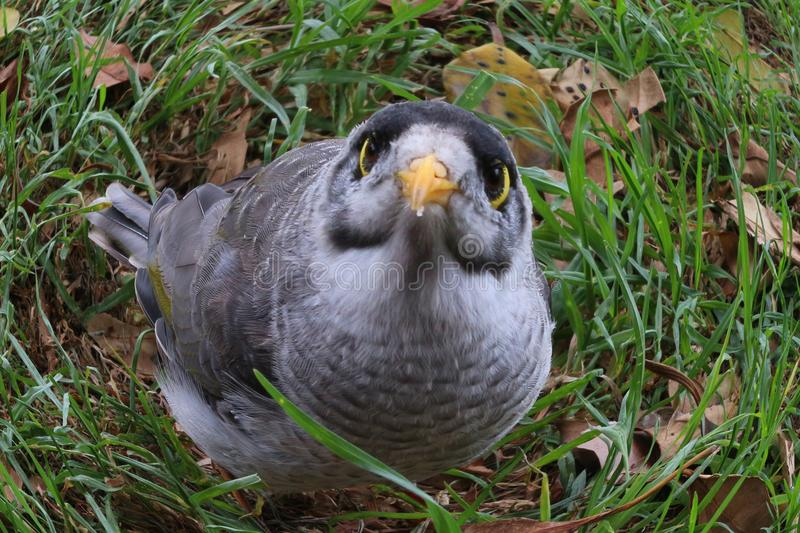 Little Australian bird with huge eyes called noisy miner, edited using fish eye camera effect stock photography