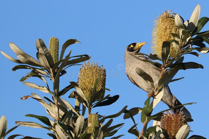 Noisy Miner royalty free stock photography
