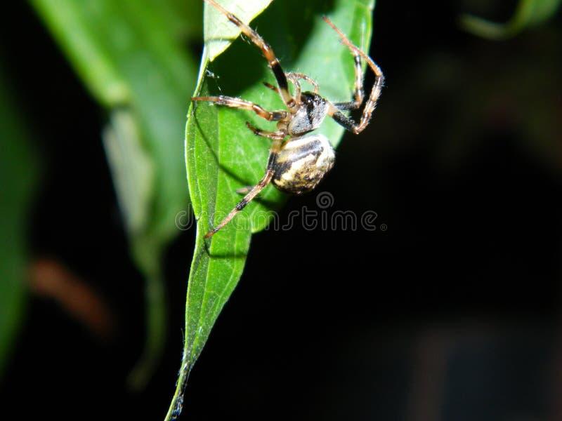 Noite da aranha foto de stock royalty free