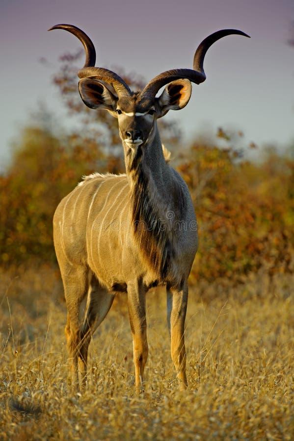 Noite de Kudu foto de stock
