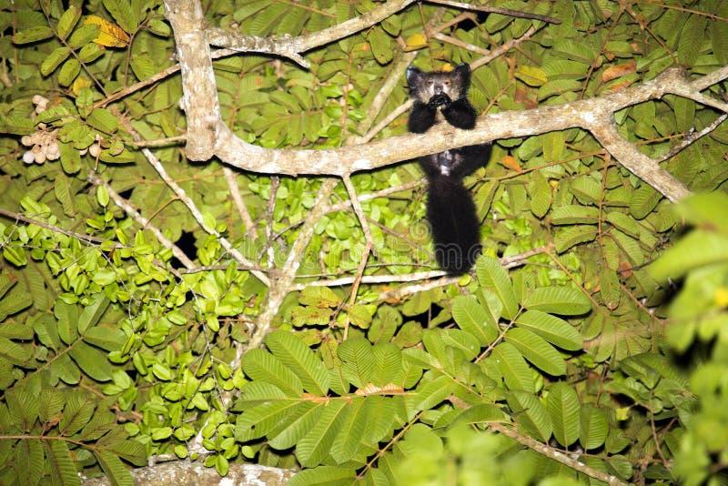 A noite disparou e é um Sim-sim raro, madagascariensis de Doubenotia, Madagáscar foto de stock