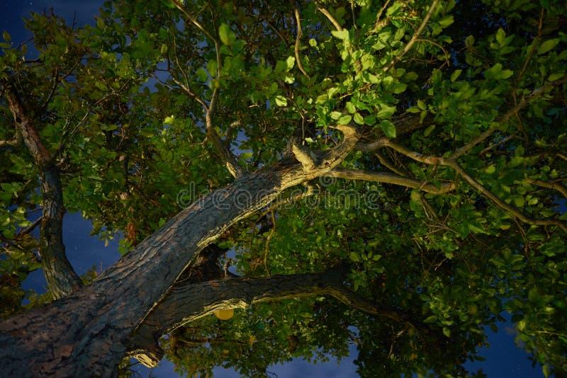 Noite estrelado e uma árvore de noz foto de stock