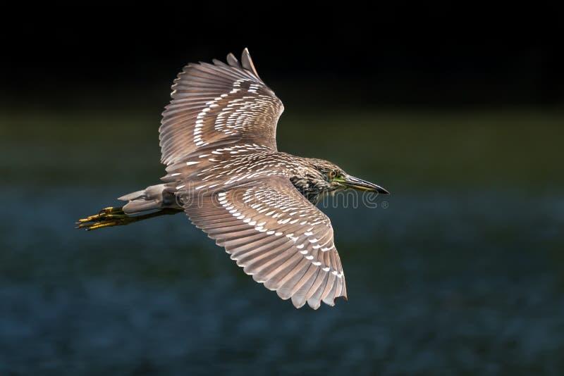 Noite-Garça-real Preto-coroada no vôo fotos de stock