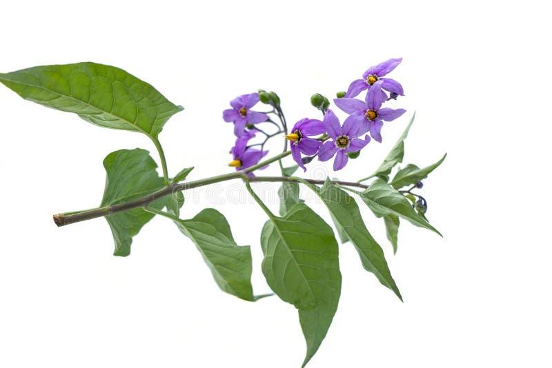 Noite mortal isolada em branco Flor de violeta-comum-dulcamara berrie são venenosas, usadas em medicina alternativa foto de stock royalty free