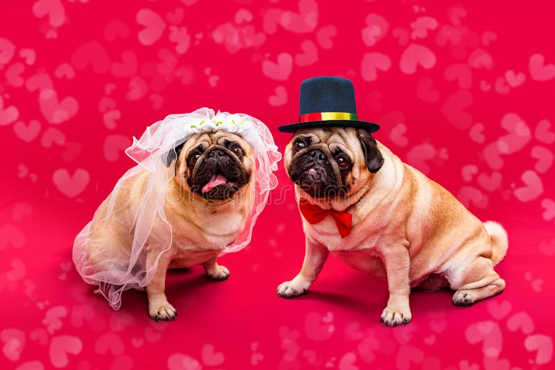 Noivos do c?o Dois pugs Casamento do c?o Noiva e noivo imagens de stock