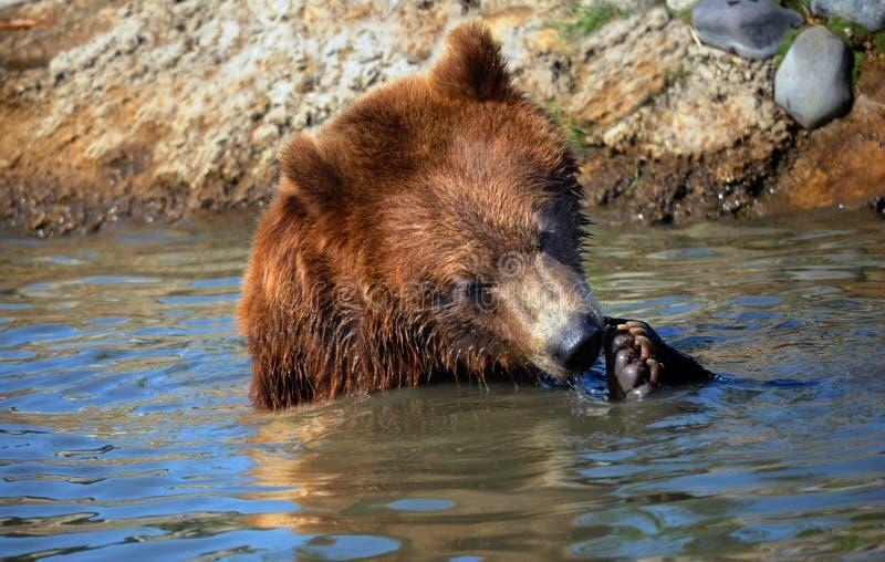 Noivos do urso imagens de stock