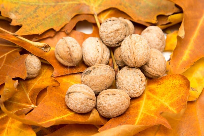 Noix dans les feuilles de jaune en automne photos libres de droits