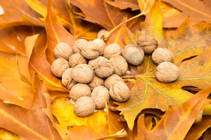 Noix dans les feuilles de jaune en automne image libre de droits