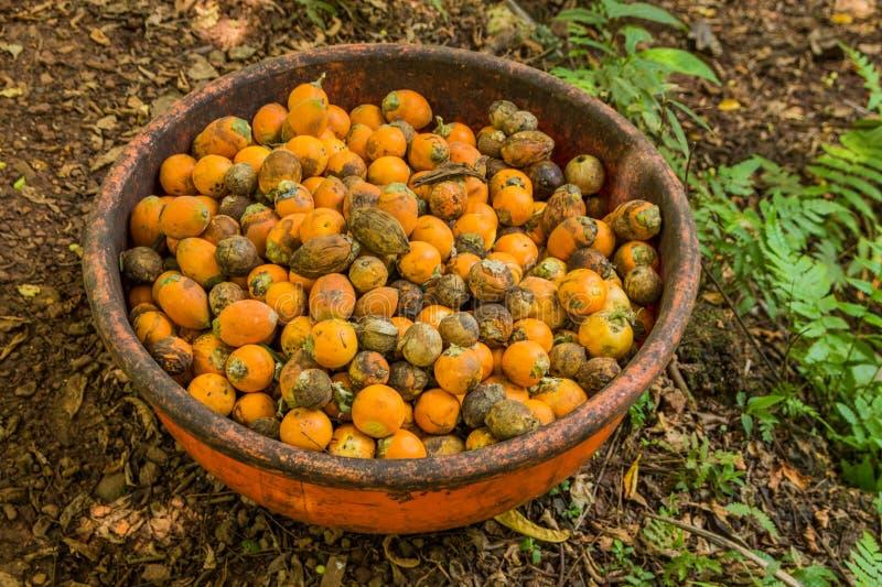 Noix de bétel rouge dans la plantation tropicale d'épice, Goa, Inde images stock