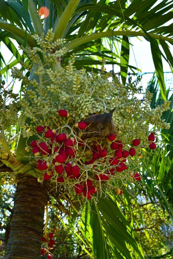 Noix de bétel rouges de plan rapproché sur l'arbre de Plam images libres de droits