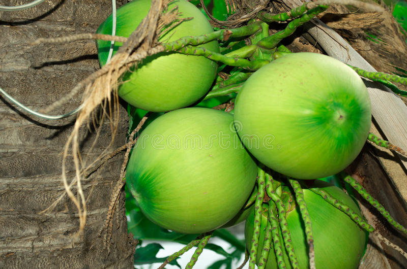 Noix de coco image libre de droits