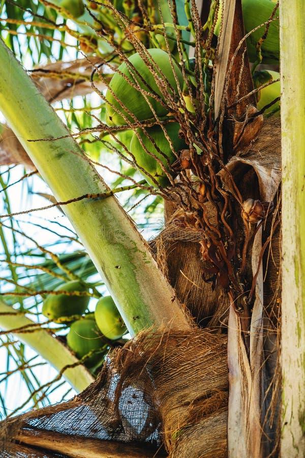 Noix de coco accrochant sur le palmier de noix de coco photos stock