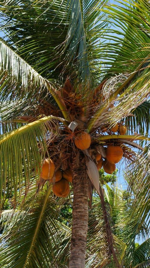 Noix de coco accrochant sur le palmier de noix de coco photo libre de droits