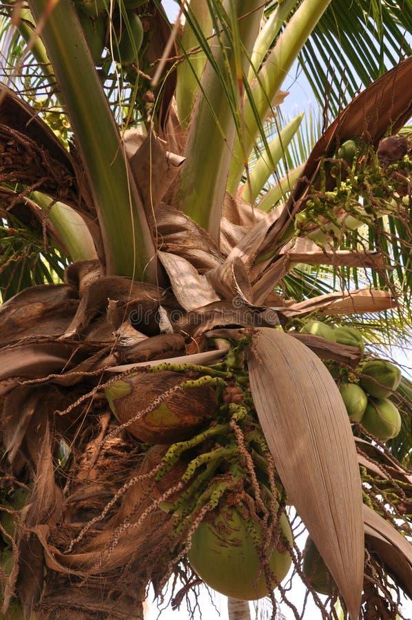Noix de coco croissantes