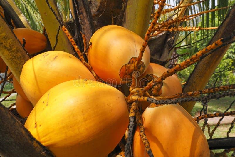 Noix de coco crues photos stock