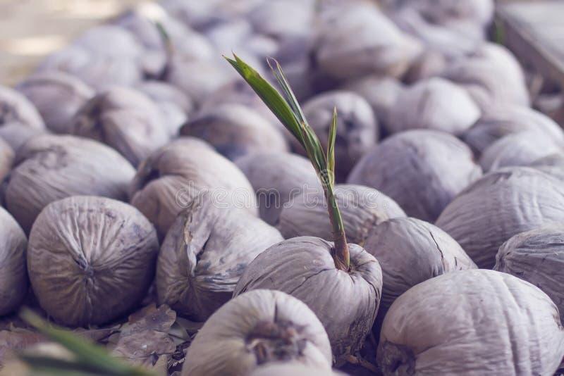 Noix de coco de germination images libres de droits