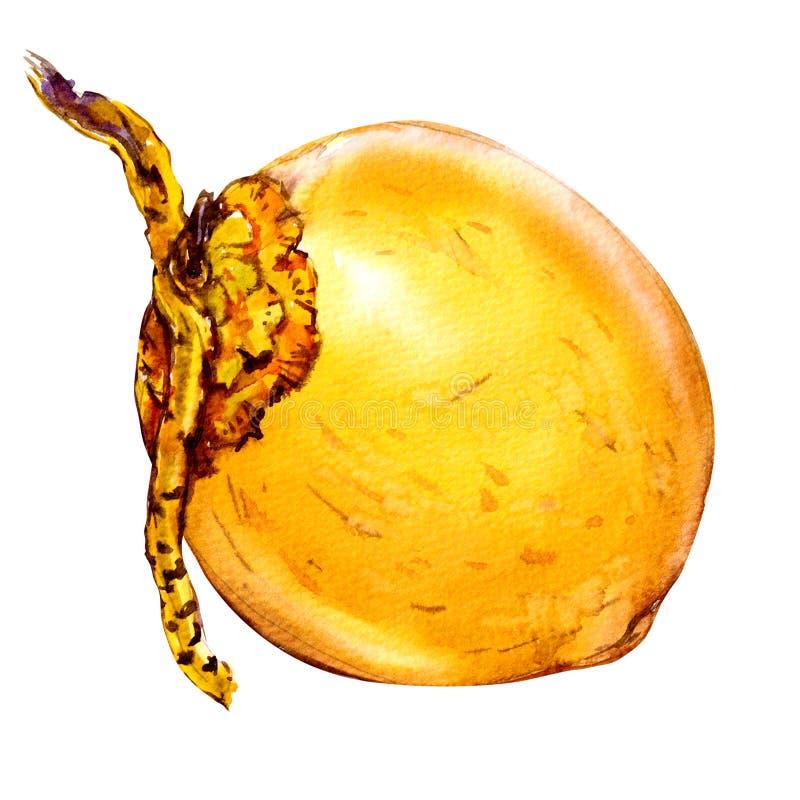 Noix de coco jaune d'isolement, écrou entier, illustration d'aquarelle sur le blanc illustration de vecteur