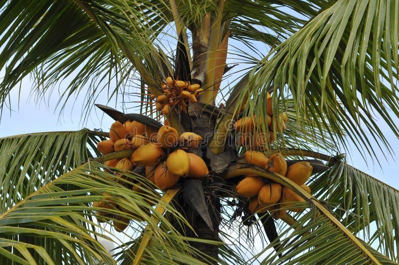 Noix de coco oranges photos libres de droits